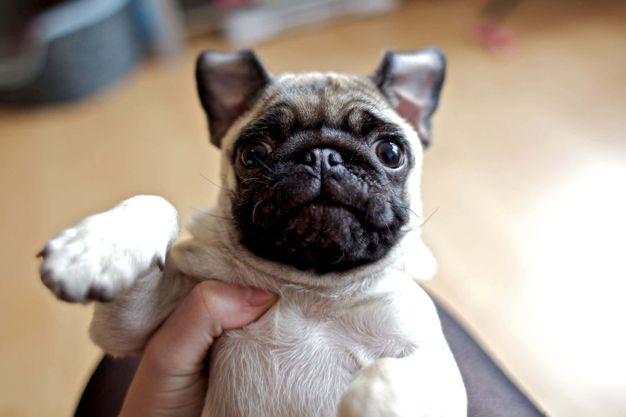 an image of a pug puppy set to compression level of 60 out of 100