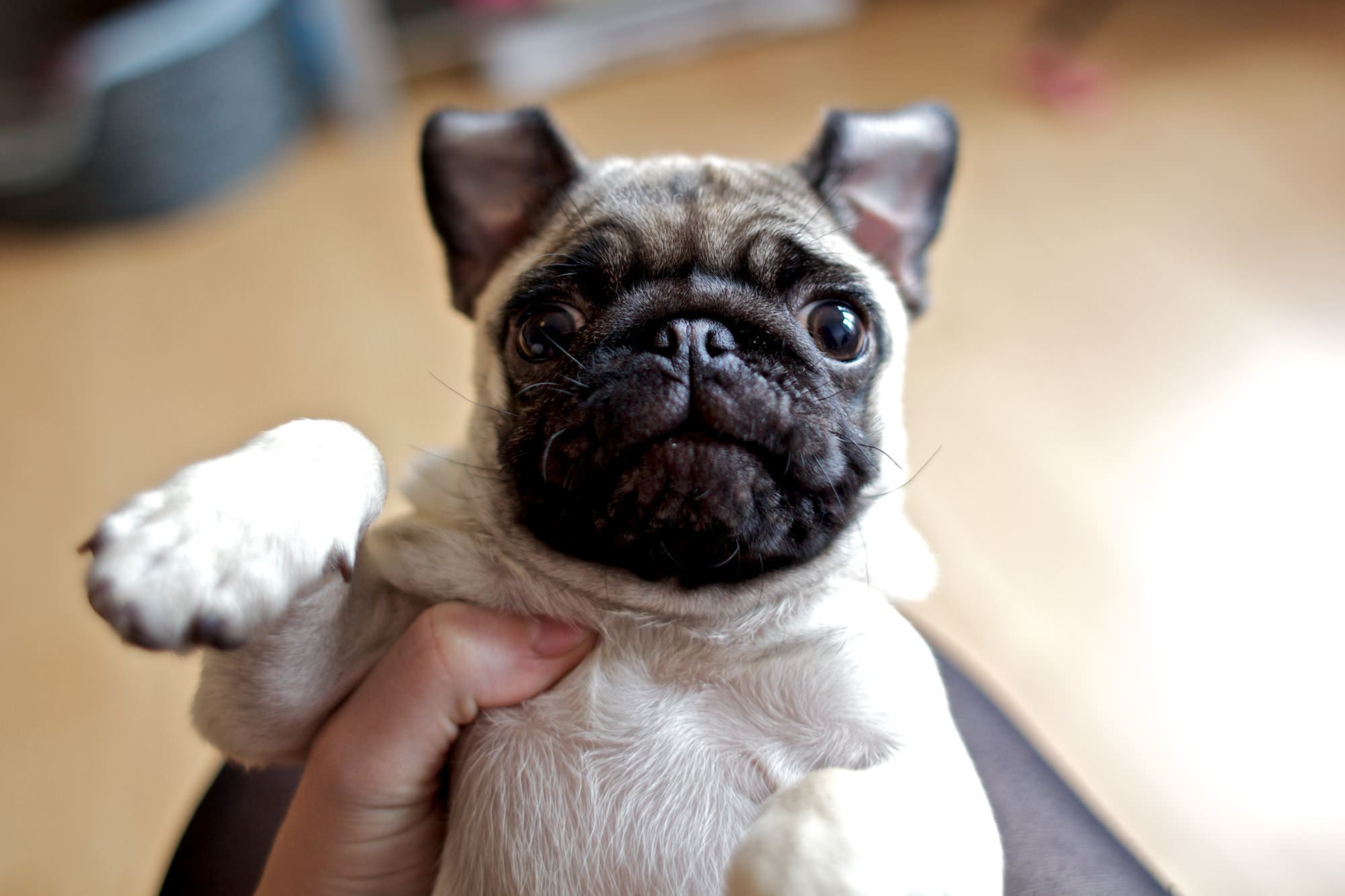an image of a pug puppy set transcoded and delivered at a compression level of 60 out of 100